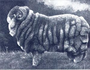 Wikipedia photo: A champion Merino ram at the 1905 Sydney Sheep Show, note the XXX sized jumper.