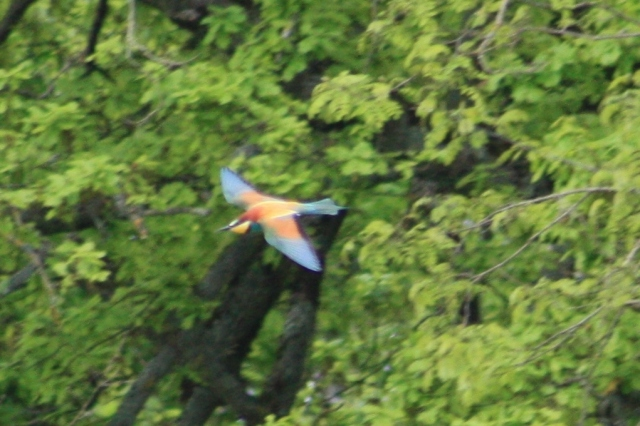 European Bee-eater spotted near Gannay-sur-Loire.