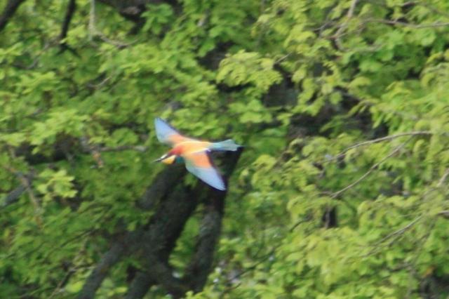European Bee-eater spotted near Gannay-sur-Loire.