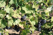 Grapes at Vincelles