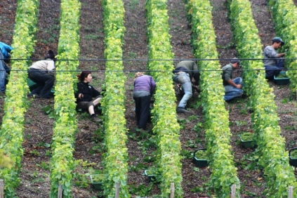 Passing through the lock at Mareuil we see grape picking up close.