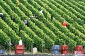Mareuil vineyard grape picking.