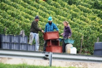 Mareuil vineyard grape picking.