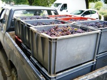 Van with grapes just picked.